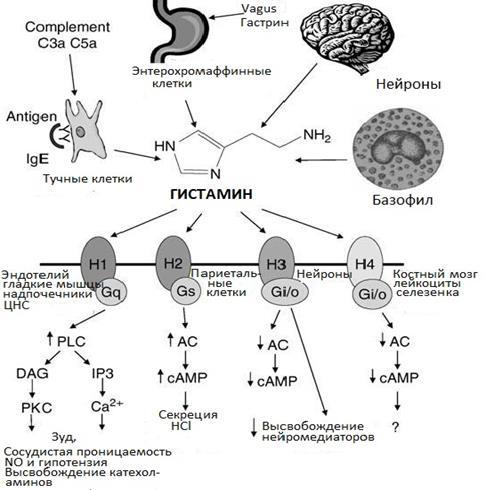 Препарат гистамин – состав, инструкция, противопоказания и отзывы