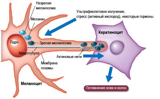 """Презентация на тему: """"меланин пигмент, вырабатываемый пигментными клетками – меланоцитами. именно он отвечает за цвет глаз и волос, оттенок кожи человека. выработкамеланина."""". скачать бесплатно и без регистрации."""