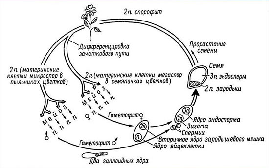 Развитие половых клеток. оогенез