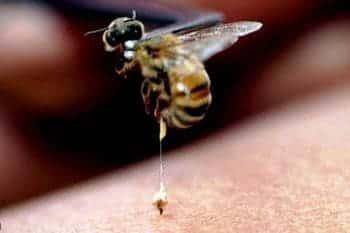 Пчелиный яд – инструкция по применению, аналоги, цена, отзывы