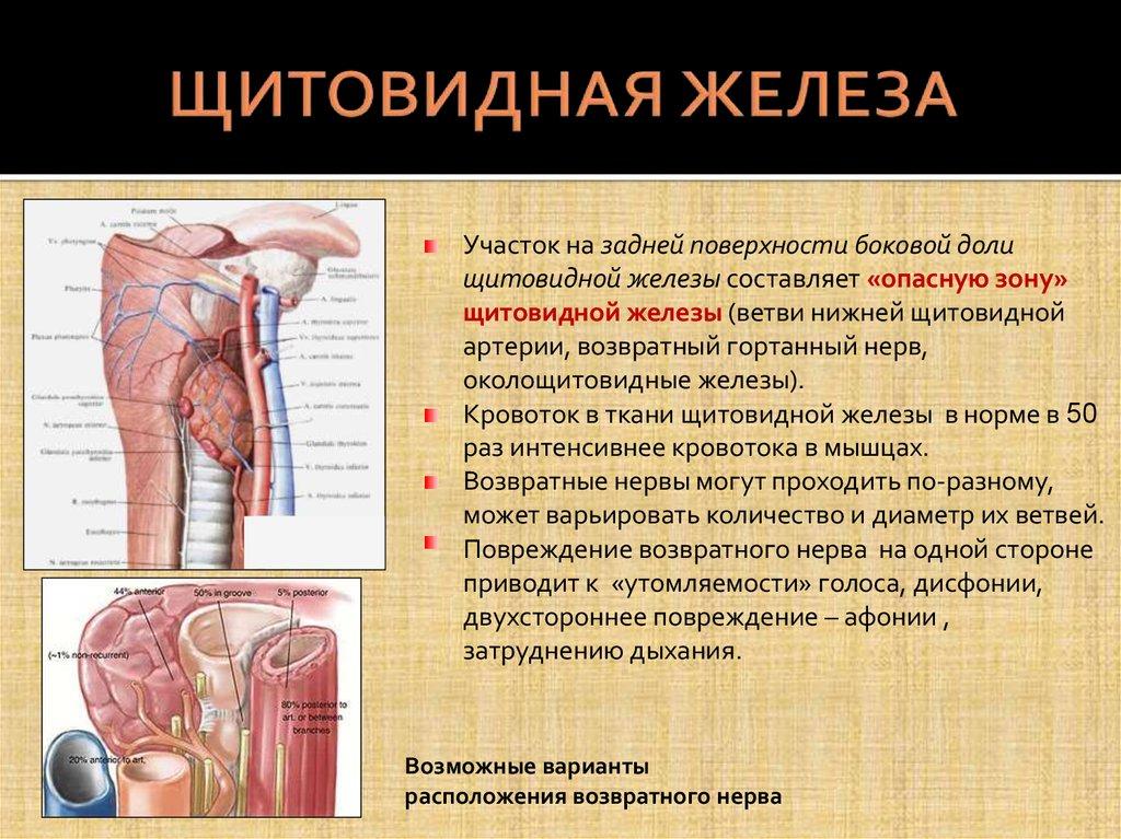 Норма щитовидной железы. функции, строение, роль в организме
