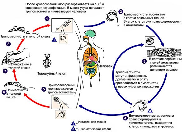 Особенности протекания и лечения сонной болезни