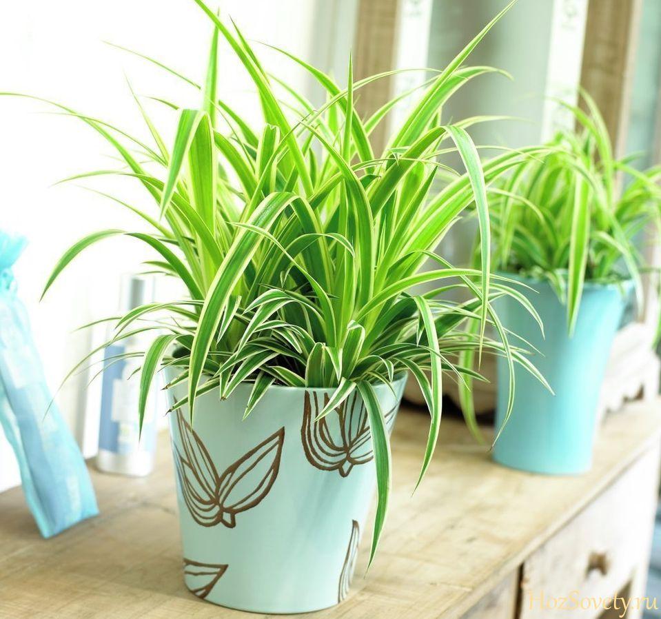 Комнатные растения которые чистят воздух картинки