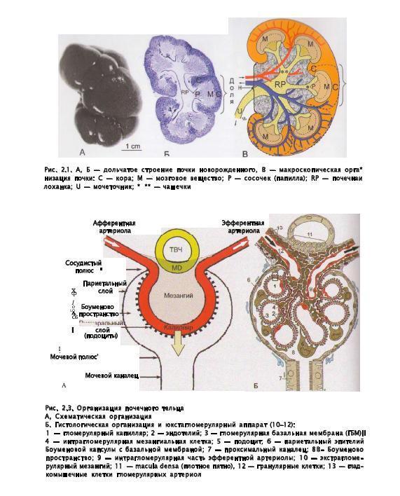 Причины очаговых образований в почках: симптомы и лечение
