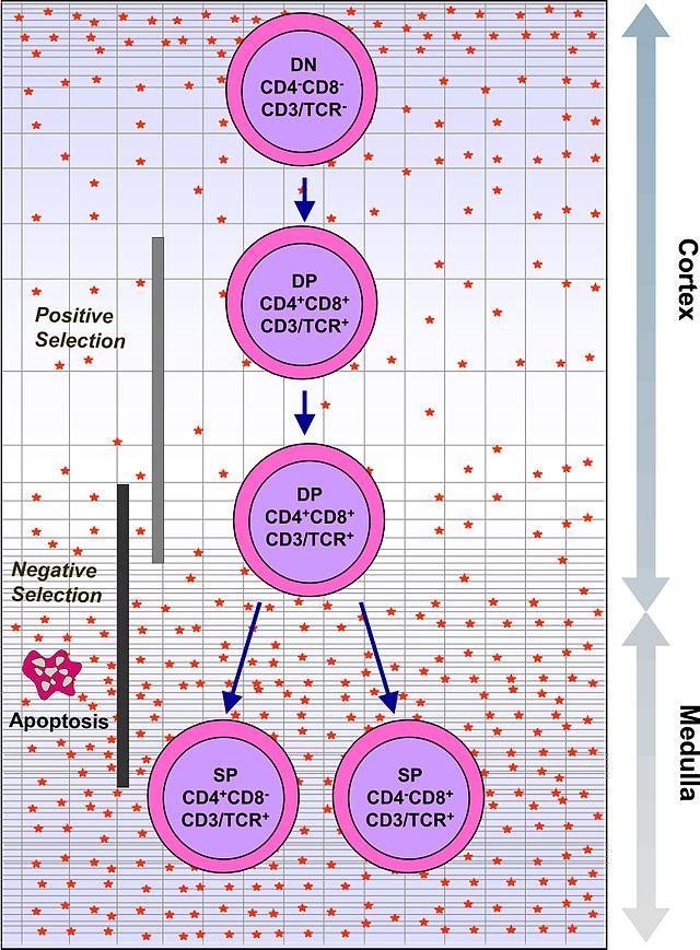 Расшифровка анализа крови лимфоциты и моноциты повышены