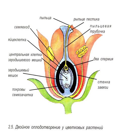Органы размножения. половые клетки. оплодотворение. биология 8 класс. пасечник