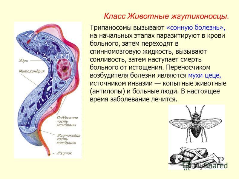 Сонная болезнь - симптомы, возбудитель, профилактика и лечение
