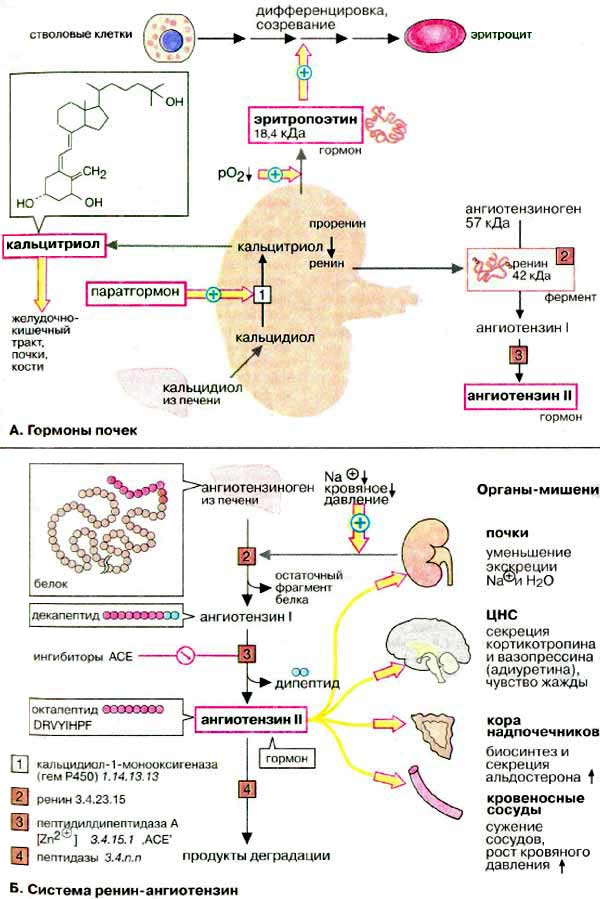 Антидиуретический гормон и его функции в организме