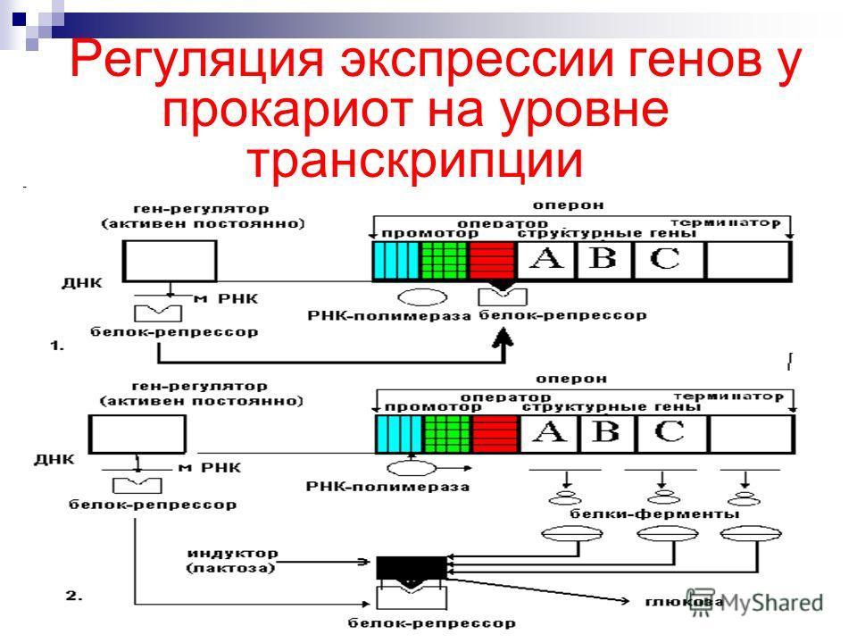 """Презентация на тему: """"регуляция экспрессии генов. известно, что гены определяют структуру всех молекул, из которых состоят клетки живых организмов, контролируют все метаболические."""". скачать бесплатно и без регистрации."""