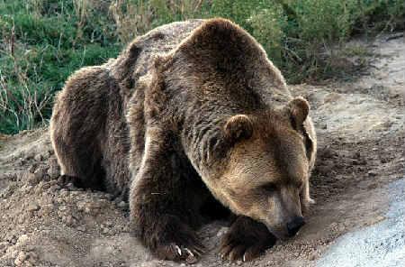 Как применяется медвежий жир от кашля