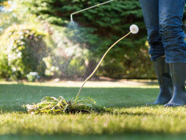 Гербицид лазурит – правила использования раствора от сорняков