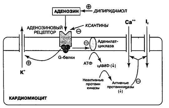 Аденин и аденозин 2020