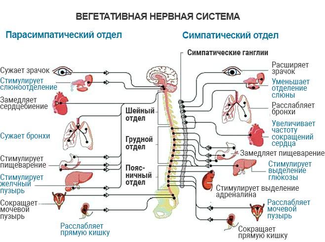 Разница между центральной и периферической нервной системой - разница между