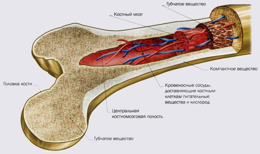 Морфофункциональная характеристика клеток костного мозга