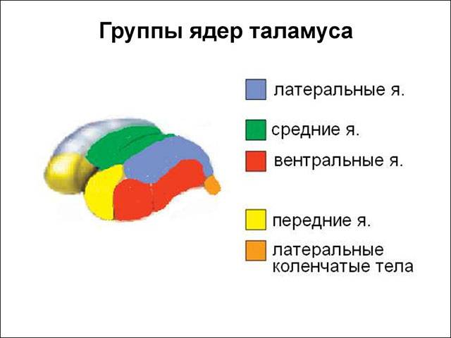 Функции отделов головного мозга человека. какие отделы головного мозга за что отвечают? строение головного мозга
