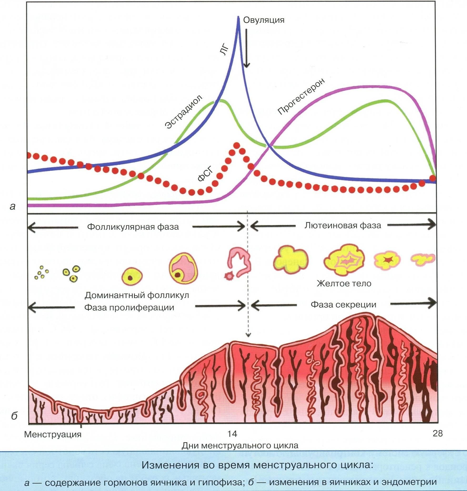 Влияние группы гормонов андрогенов на организм женщины