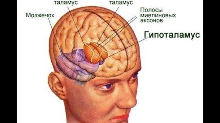 Нейронауки для всех. детали: таламус и его ядра