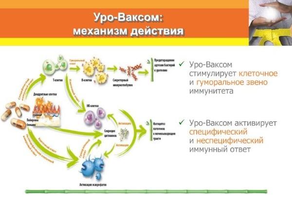 Аналоги капсул уро-ваксом