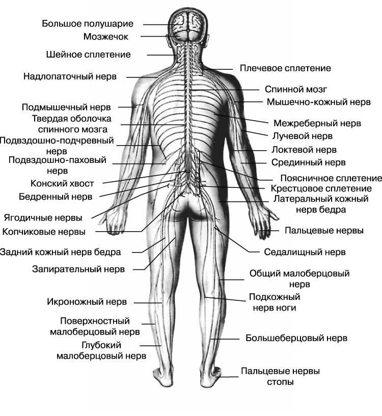 Разница между центральной и периферической нервной системой