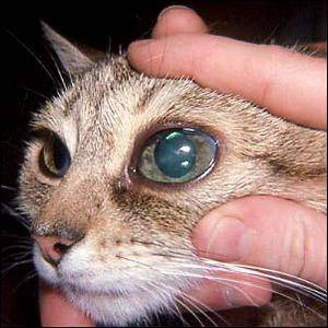 Котенок глаукома