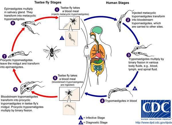 Тропические болезни: африканский и американский трипаносомоз