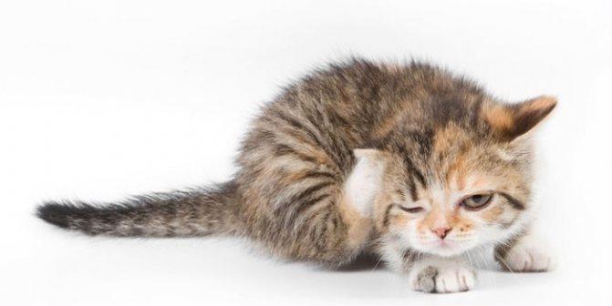 Стронгхолд для котят: инструкция по применению