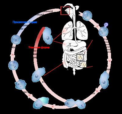 Амебиаз – чем опасна и как провляется инфекция?