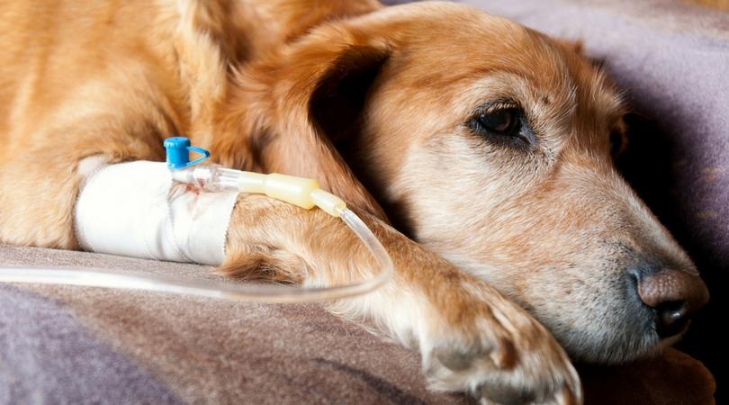 Отравление собаки изониазидом – что делать?