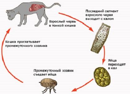 Болит ли от глистов живот? правда и мифы о заражении гельминтами