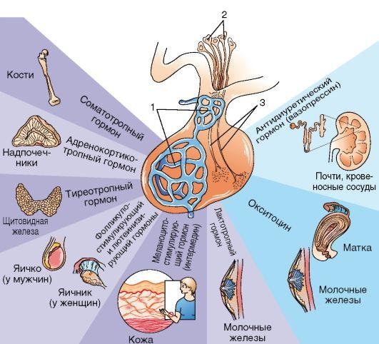 Гипофиз: строение, функции и роль в организме человека. как улучшить работу гипофиза?
