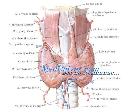 Анатомия: щитовидная железа. функции щитовидной железы