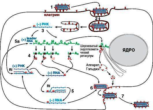 Коринебактерии дифтерии. бешенство у людей и животных вирус бешенства морфология