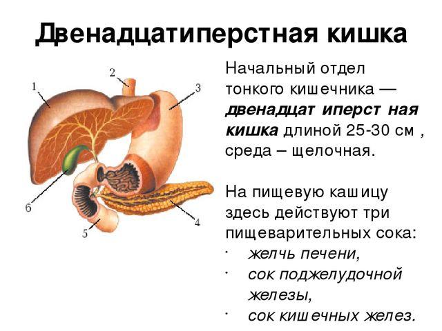 В печени вырабатывается желчь которая