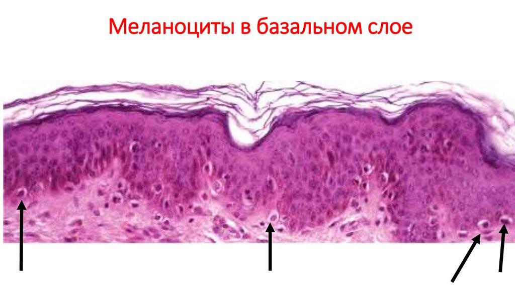 Меланоцит - melanocyte - qwe.wiki