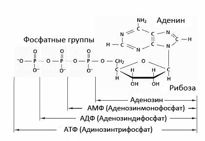 Аденозин дифосфат - adenosine diphosphate - qwe.wiki