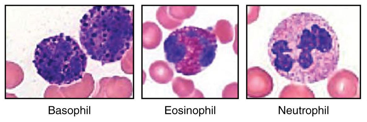 О чем говорят изменения уровня базофилов в крови