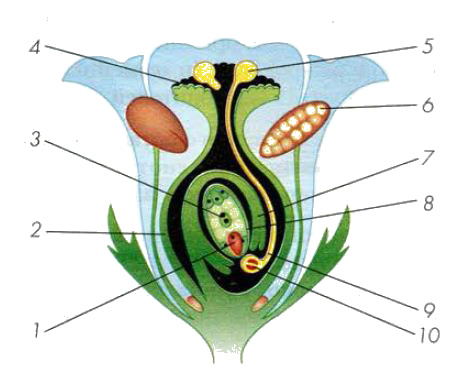 Строение половых клеток, стадии развития яйцеклеток и сперматозоидов, оплодотворение