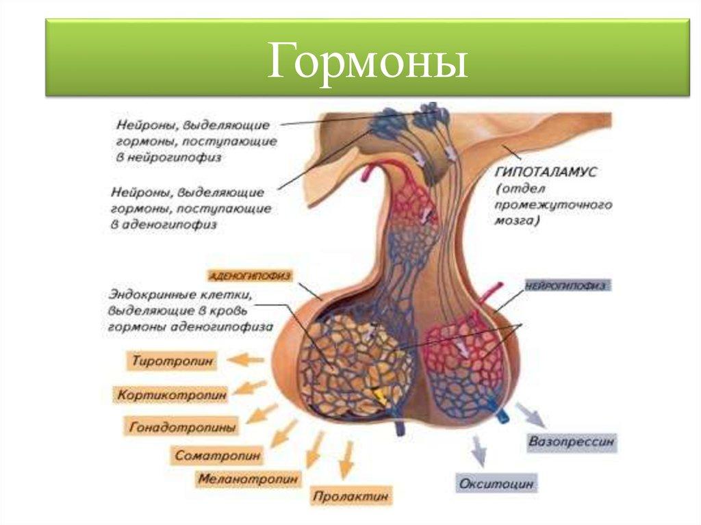 Влияние гипофиза на человеческий облик