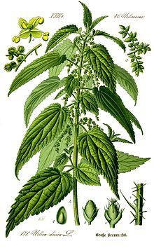 Трава крапива лечебные свойства и противопоказания используемые человеком с давних времен