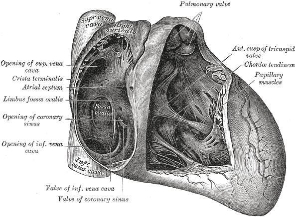 Открытое овальное окно у новорожденного: что это?
