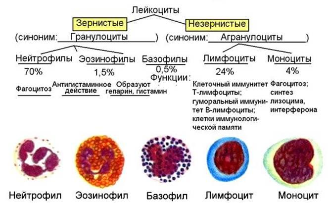 Функции базофилов. функции базофильных гранулоцитов. нормальное количество. гистамин. гепарин.