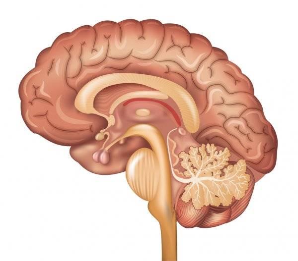 За что отвечают отделы головного мозга