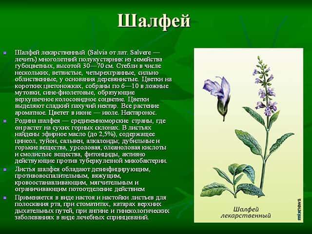 Шалфей, полезные свойства и противопоказания для женщин и мужчин