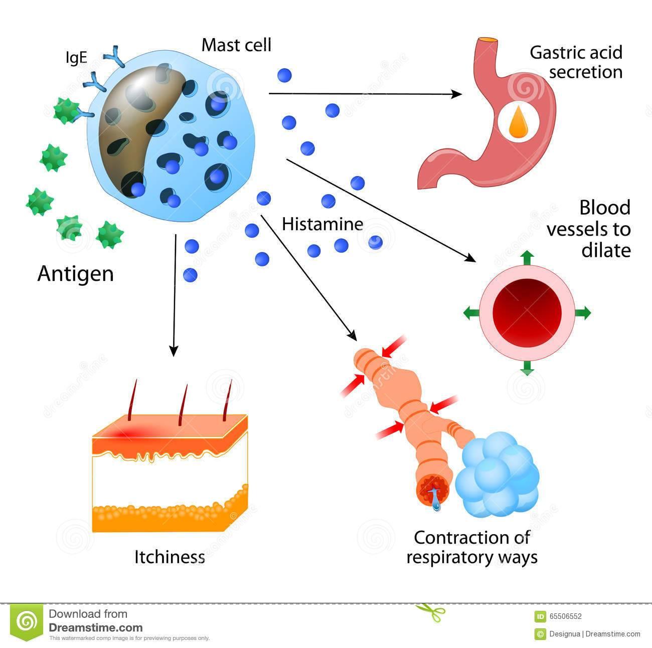 Препараты снижающие гистамин в организме человека. гистамин (histamine) - инструкция по применению, описание, фармакологическое действие, показания к применению, дозировка и способ применения, противопоказания, побочные действия