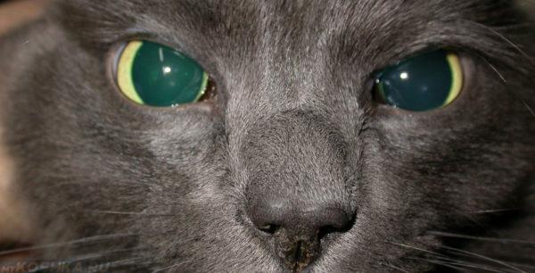 Глаукома у кошек: симптомы, методы диагностики, методы терапии
