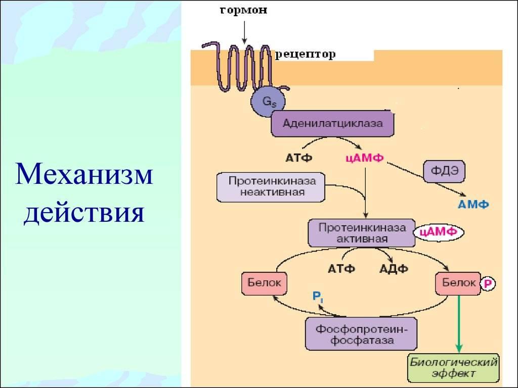 Антидиуретический гормон википедия