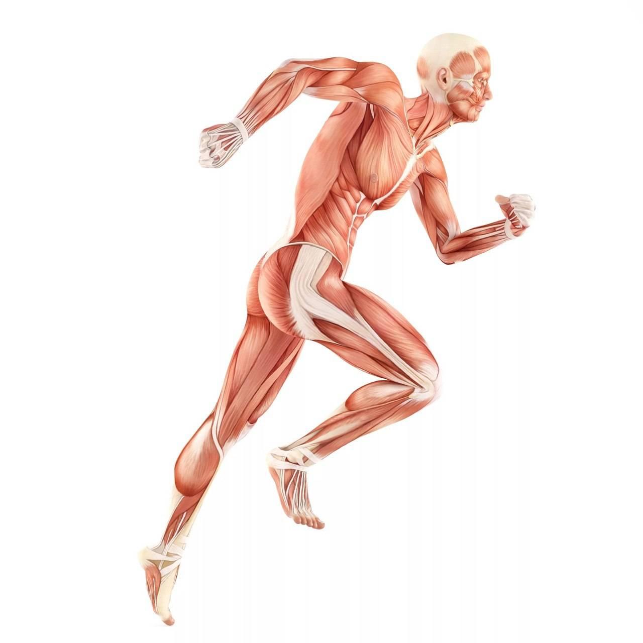 Мышцы голени. передняя группа