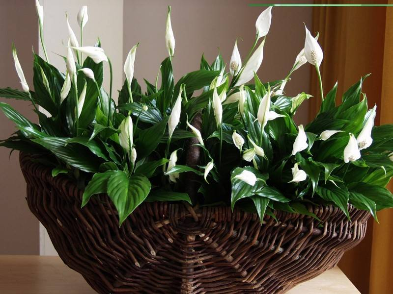 15 комнатных растений для очистки воздуха в квартире