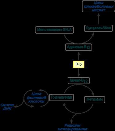 Витамин в12 (цианокобаламин): роль, потребность, нехватка, источники