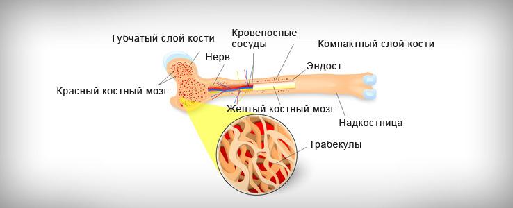 Гемопоэз: схема и регуляция кроветворения